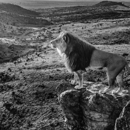 Lion on a plain